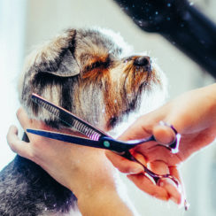 terrier dog being trimmed kittys canine clips